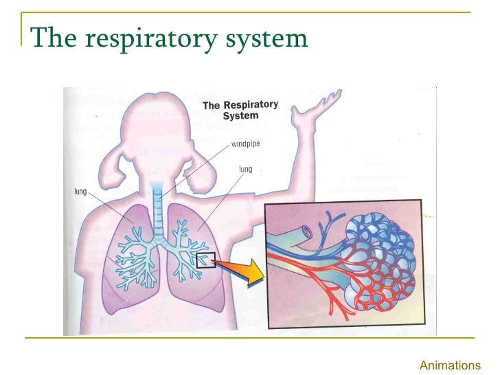 The respiratory system Animations