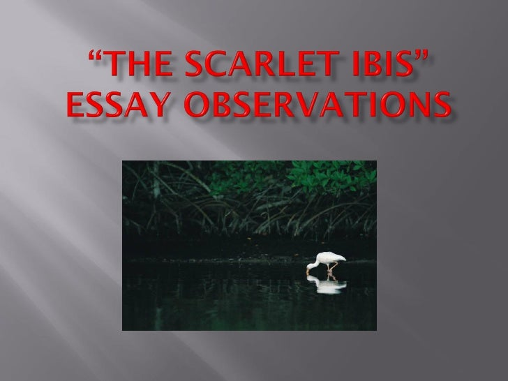 scarlet ibis conflict essay After the climax which was the scarlet ibis dying, therefore making this period a period of falling action d resolution - the resolution is the outcome of the conflict.