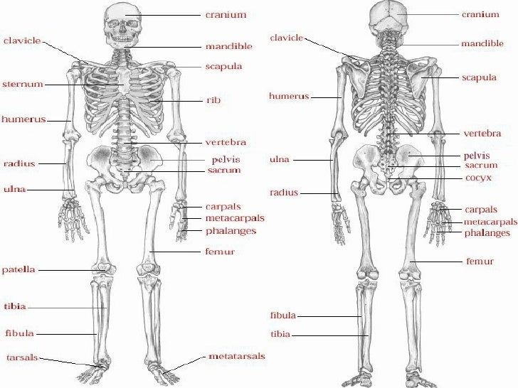 Images Of The Respiratory System Of A Human Labeled Diagram Of The Respiratory System Anatomy Chart Body additionally Human Body Medical Demographic 1158688 as well The Skeleton And Joints Wk3 together with Skull interior unlabeled besides Skulls labeling Key. on human heart labeled