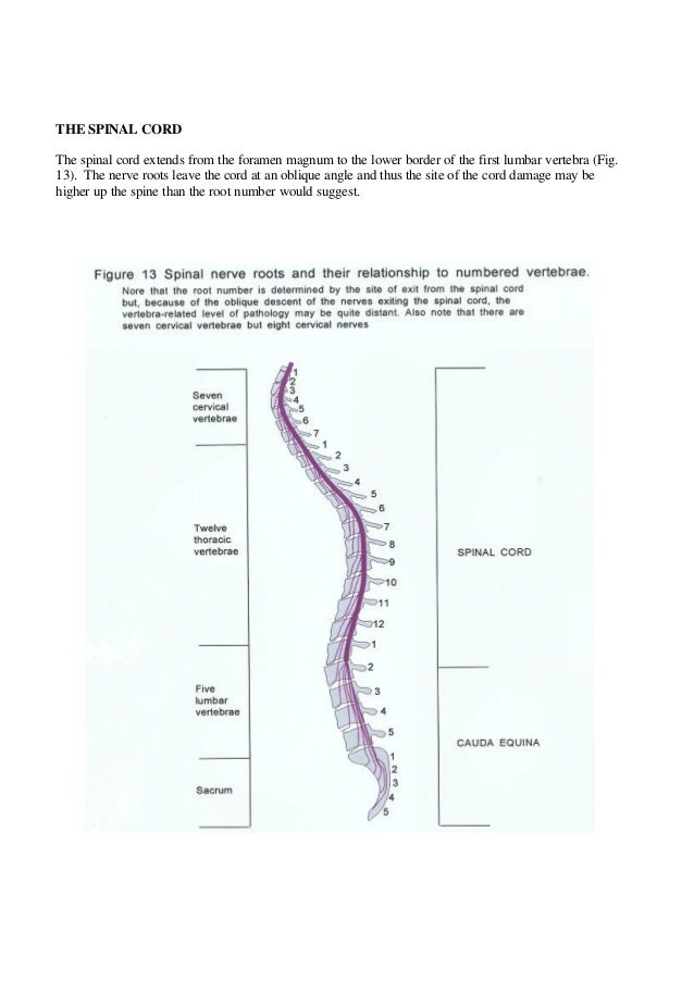 THE SPINAL CORD The spinal cord extends from the foramen magnum to the lower border of the first lumbar vertebra (Fig. 13)...