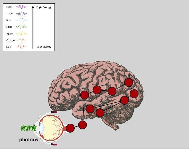 visual cortex — V2 through V4 occipital lobe com plex shapes