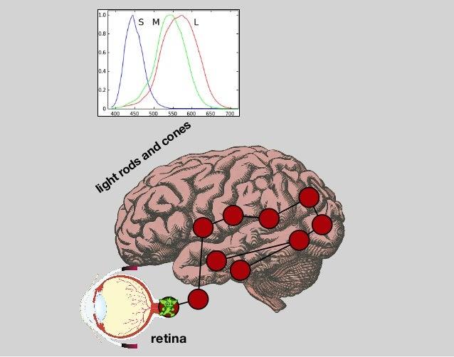 visual cortex — V5 through V6 occipital lobe m otion and holistic objects