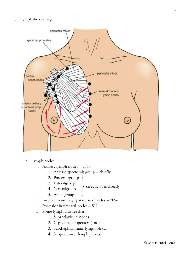 The Anatomy Of Breast