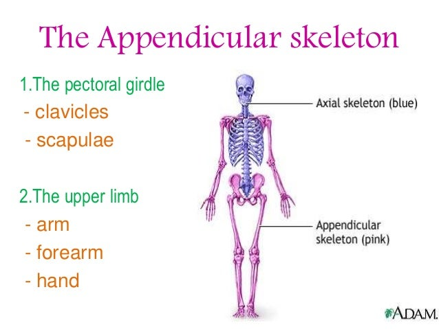 the appendicular skeleton Test your knowledge of the bones of the appendicular skeleton with these free multiple choice picture quizzes, and learn more about the anatomy of the human body you'll find over 200 quizzes on the anatomy and physiology of the human body here all free.
