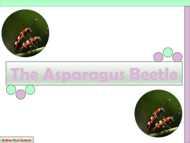 Asparagus Beetle Control: The Asparagus Beetle