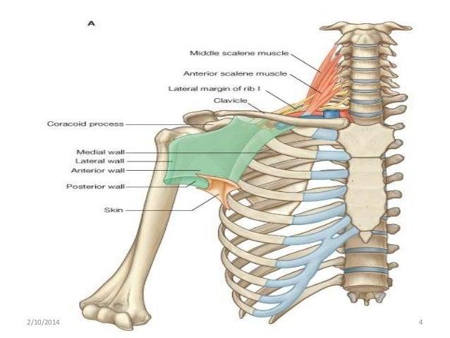 Axillary Lymph Nodes Anatomy - Garden View Landscape