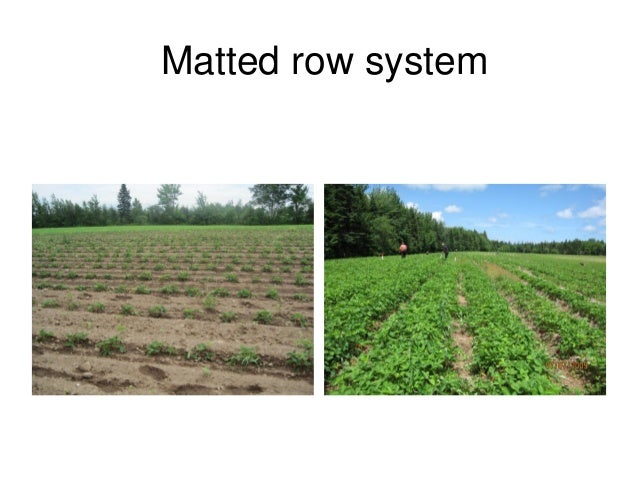 """Strawberry Season Extension Techniques: """"Lessons Gained in Quebec"""" Slide 3"""
