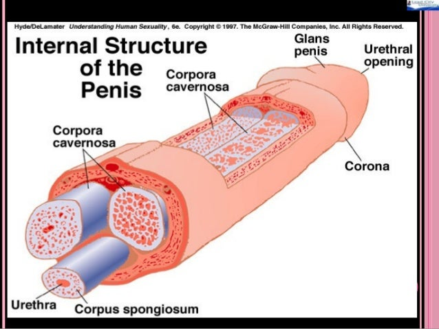 The function of the penis
