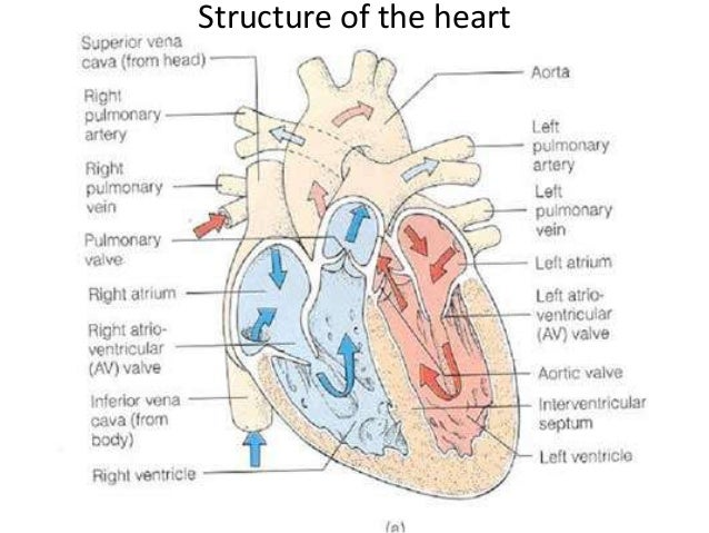 The blood circulatory system IGCSE – Structure of the Heart Worksheet