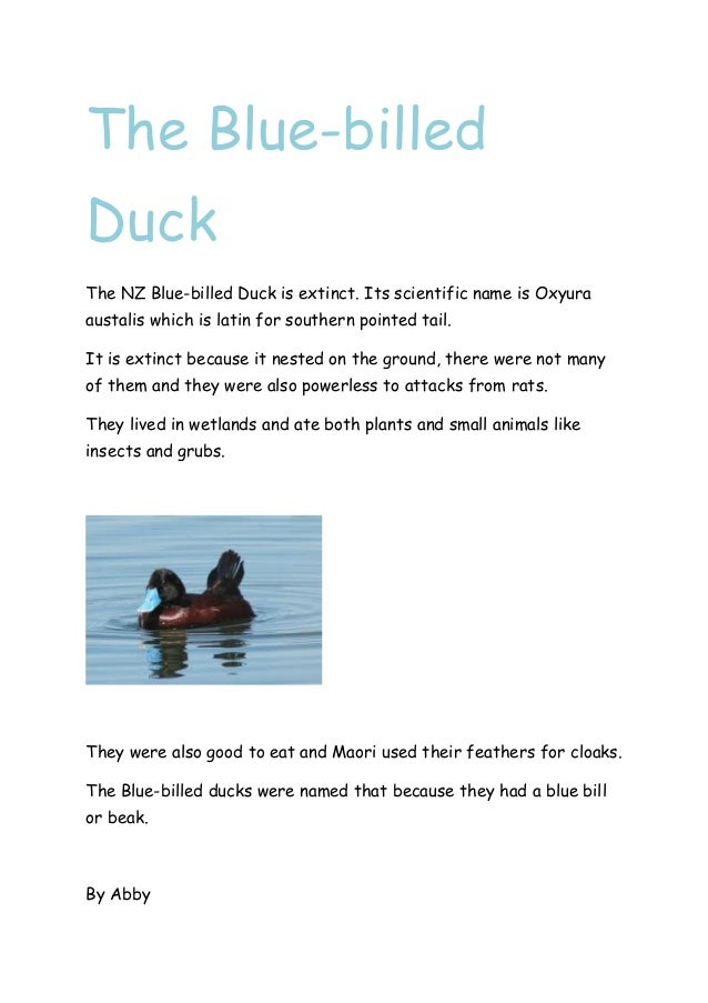 The Blue-billed Duck The NZ Blue-billed Duck is extinct. Its scientific name is Oxyura austalis which is latin for souther...
