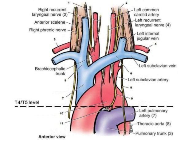 The brachiocephalic veins