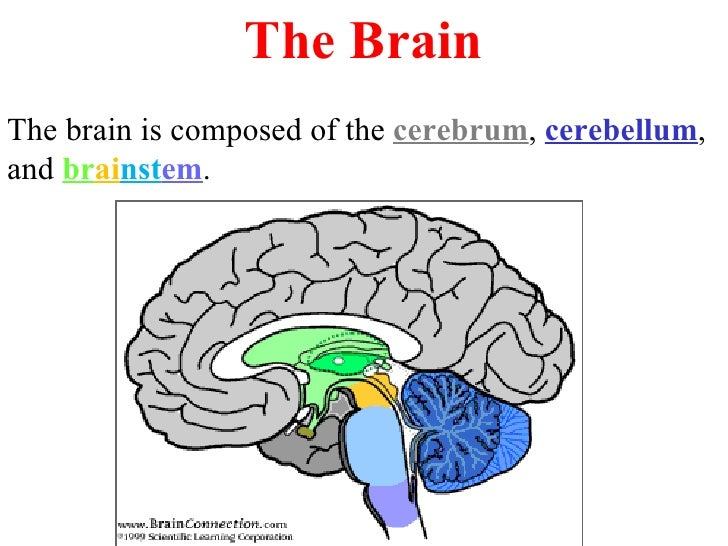 The Brain The brain is composed of the  cerebrum ,  cerebellum , and  br ai nst em .
