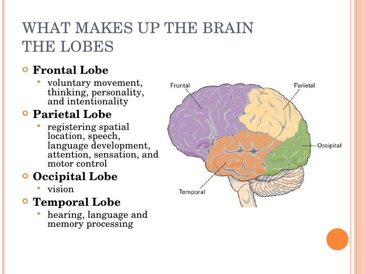 adolescence and the frontal lobe Developmental consequences of childhood frontal lobe  studies 26 years after she sustained damage to the frontal lobe  of development in adolescence.