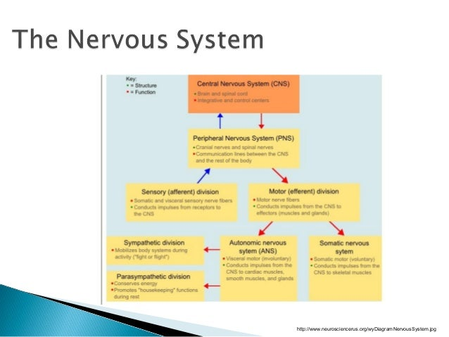 nervous system 1 Functions of the nervous system 1 nervous system and endocrine system are the chief control centers in maintaining body homeostasis 2 nervous system uses electrical signals (nerve impulses) which.