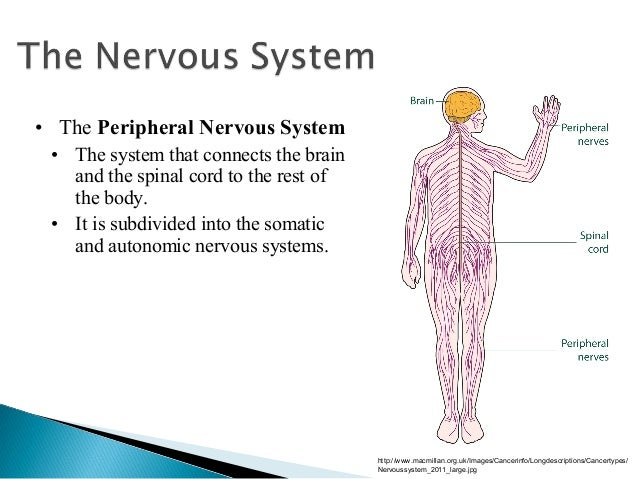 the brain and nervous system 1