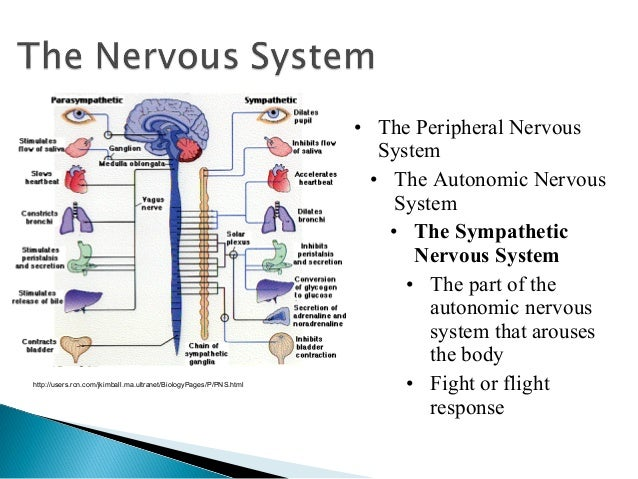 The brain and nervous system1 28 the peripheral nervous system the autonomic ccuart Gallery