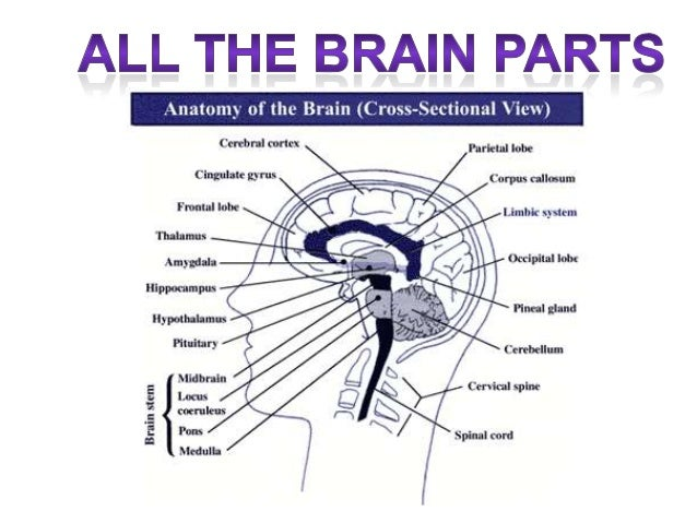 Basic Brain Anatomy