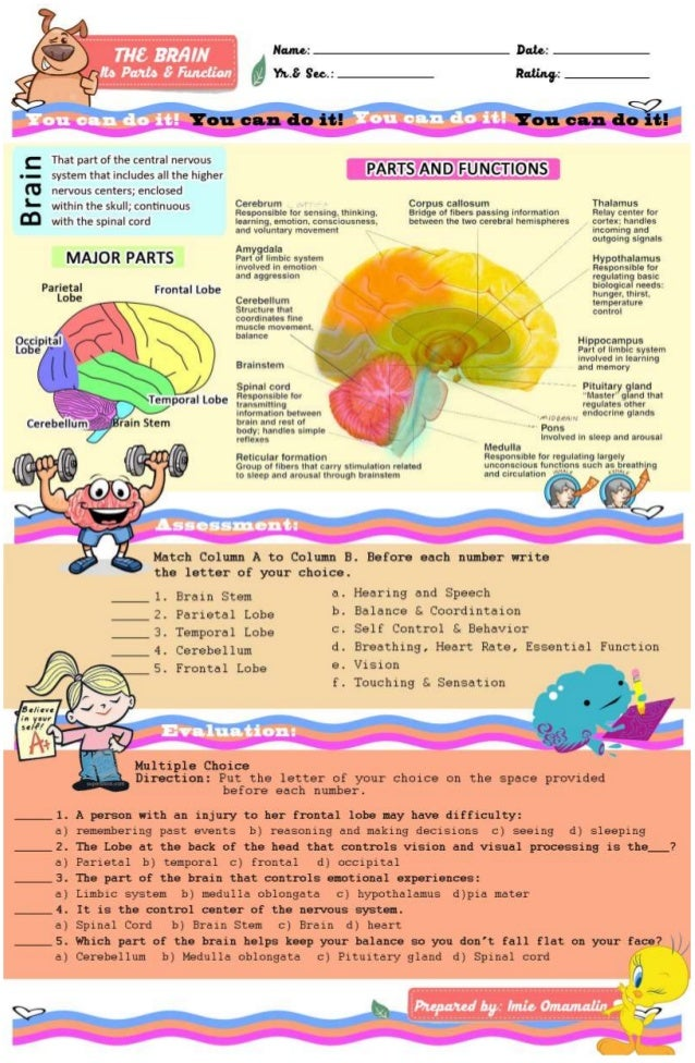 The brain, it's parts & function