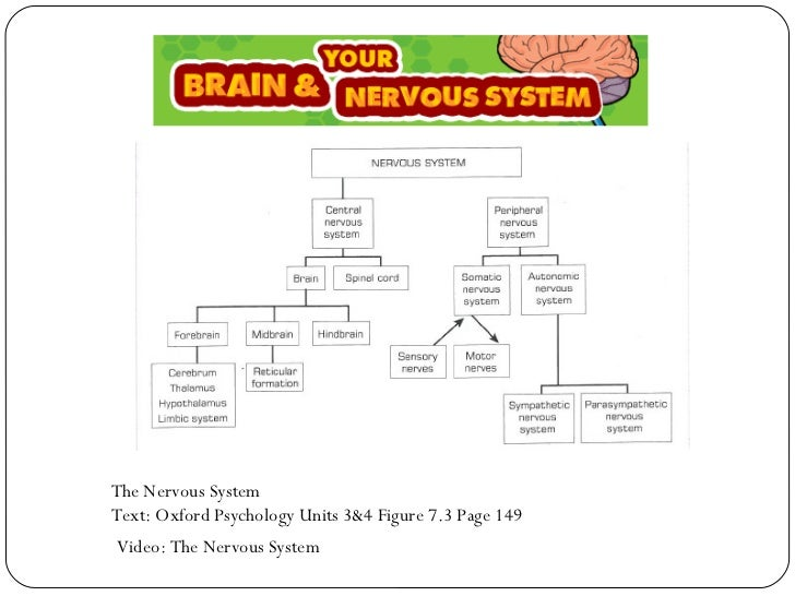 The brain nervous system the brain nervous system 2 ccuart Choice Image