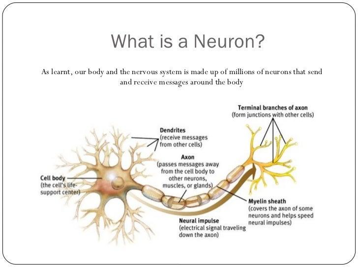 The Brain & Nervous system