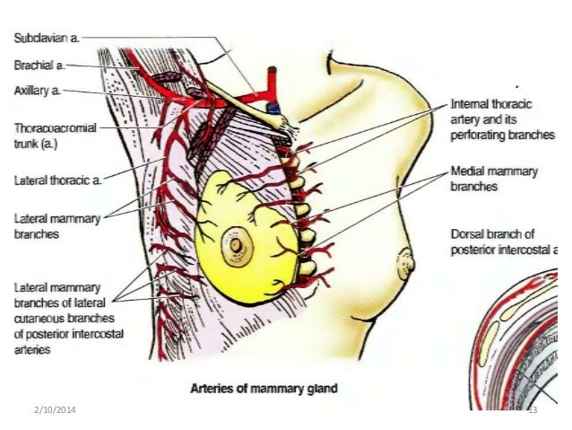 Internal Mammary Nodes Diagram Simple Electronic Circuits