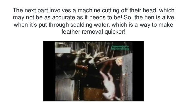 The next part involves a machine cutting off their head, which  may not be as accurate as it needs to be! So, the hen is a...