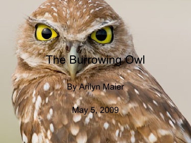 The Burrowing Owl By Arilyn Maier May 5, 2009