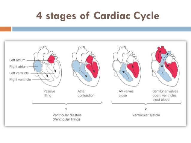 phases of a cardiac cycle Review how the atrioventricular and semilunar valves open and close in a full cardiac cycle in this interactive tutorial.