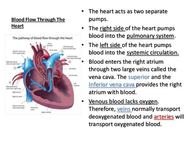 Anatomy and physiology the cardiovascular system blood flow through theheart the heart ccuart Image collections