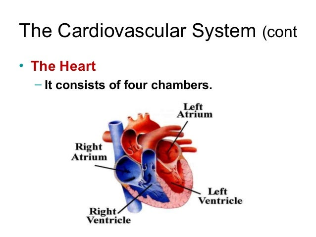 The cardiovascular system for demo