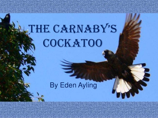 the carnaby's  Cockatoo   By Eden Ayling