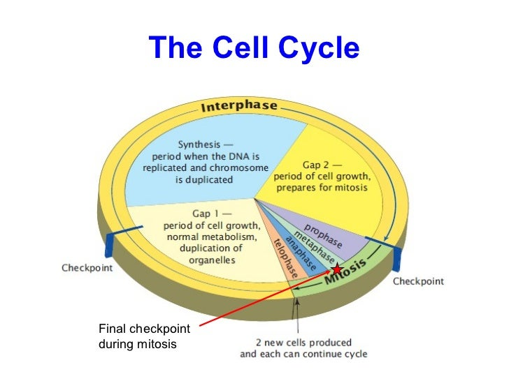 08 the cell cycle the cell cycle final checkpoint during mitosis ccuart Image collections