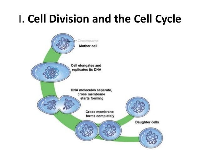 The cell cycle, mitosis, and meiosis unit 1