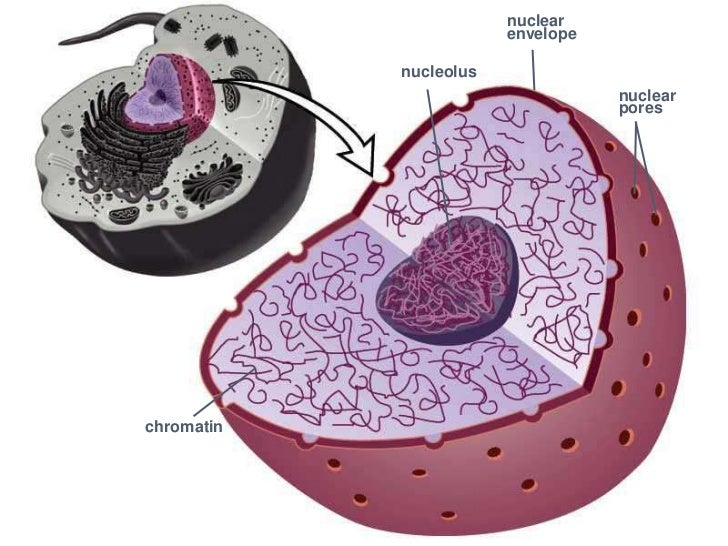 Nucleus And Nucleolus ...