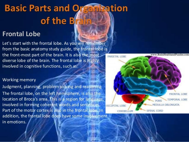The central nervous system 8 basic parts and organization of the brain ccuart Image collections