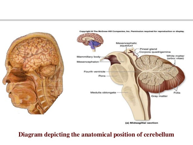 The cerebellum ccuart Choice Image
