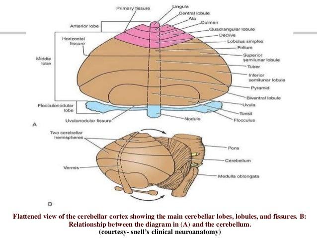 the cerebellum 6 638