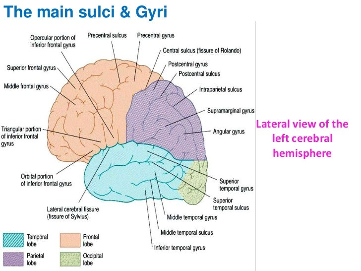 Brain Human Anatomy Picture Function Parts