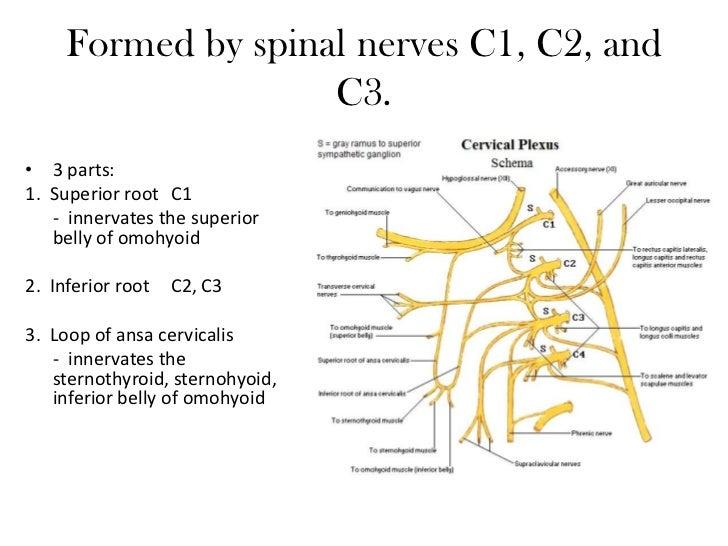 The cervical plexus