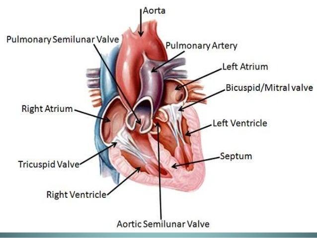 the chambers of heart, Human Body
