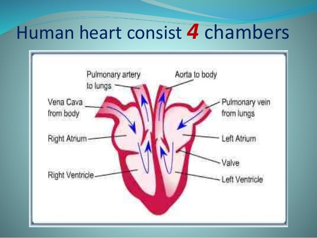 The chambers of heart