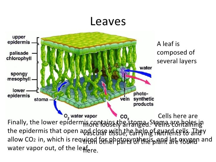 plant epidermis diagram