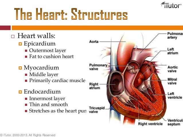 Muscle Heart Wall images