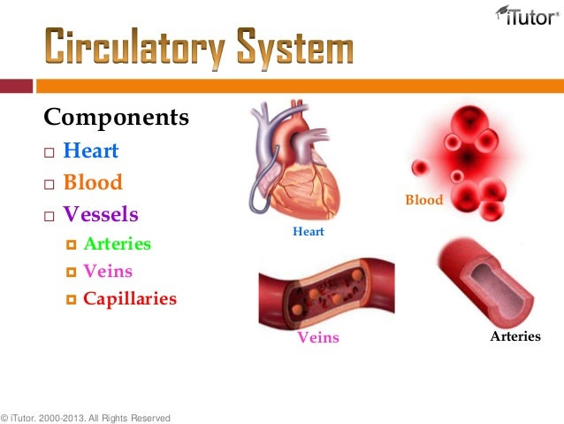 The circulatory system components heart ccuart Images