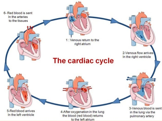 The Circulatory System  plete Info Ppt on lung circulatory system