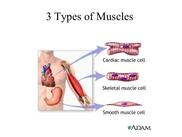 the completemuscular system, Muscles