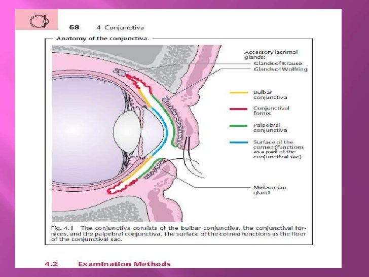 opthalmolgy.The conjunctiva lecture 1.(dr.ali)