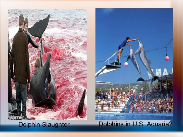 Dolphin Slaughter Dolphins in U.S. Aquaria?