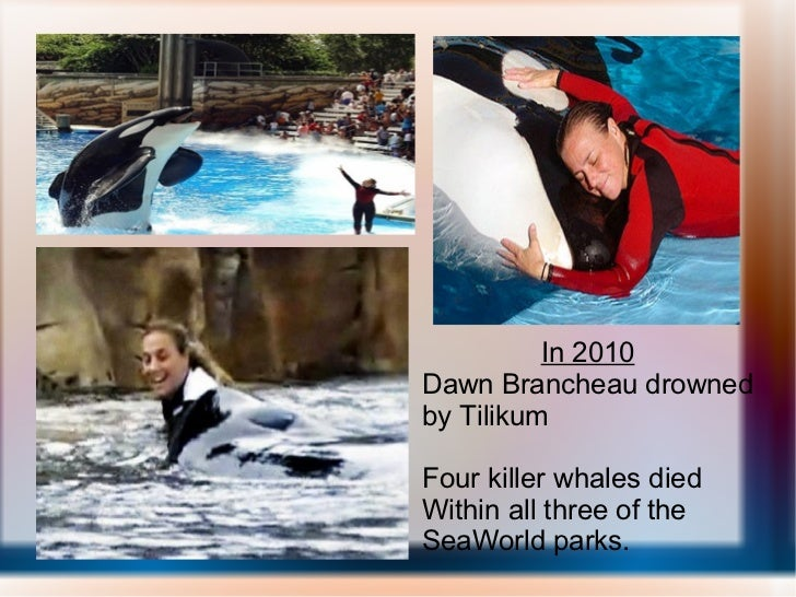 In 2010 Dawn Brancheau drowned by Tilikum Four killer whales died Within all three of the SeaWorld parks.