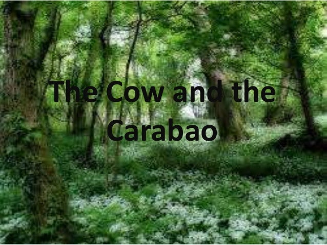 The cow and carabao